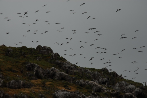 Boobys, tons of them, startled into flight as we round the corner.