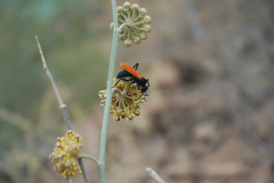 That flower is as big as an orange. Meaning: that black wasp with creepy orange wings is the size of a bird.