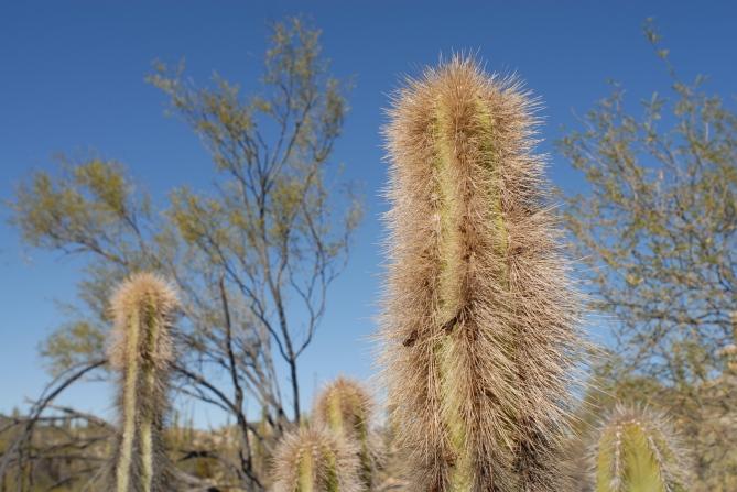 Old man cactus.