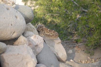 That is, unless a four foot long rattlesnake pops out of the rocks in your fire pit. Yes, the picture is blurry. But to be fair, a rattlesnake is headed right at my face.