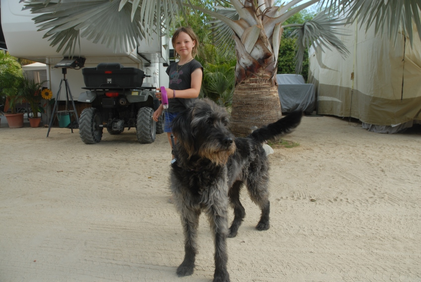 Bea's big dog, Indigo, being taken for a stroll by Leonie.